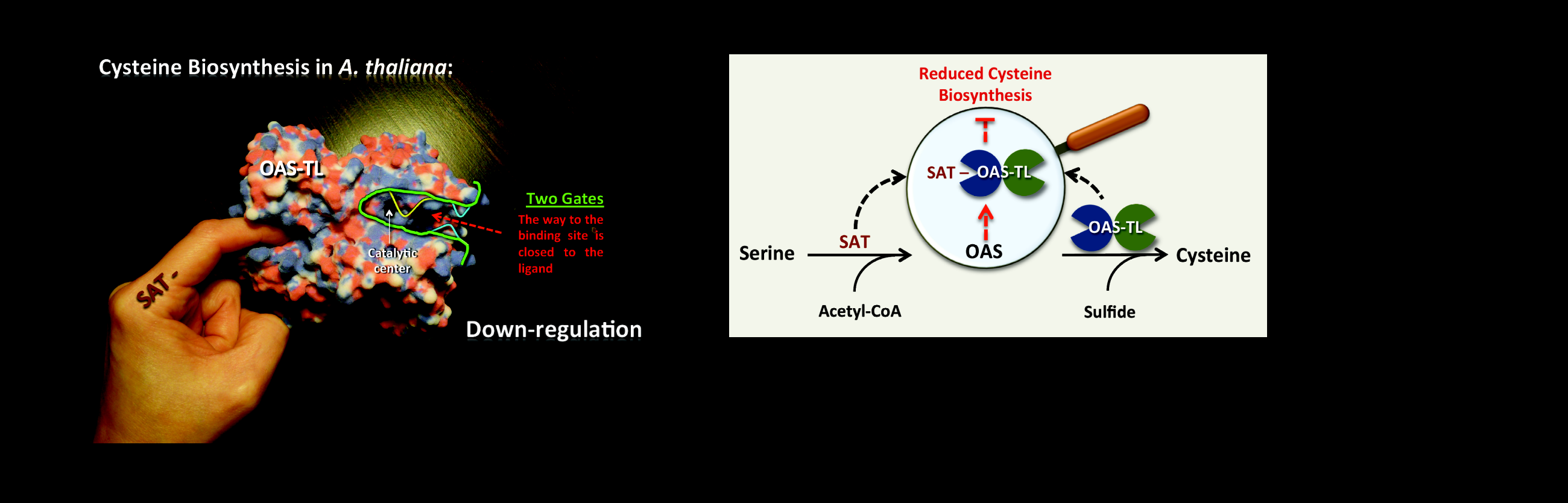 <strong>Allosterically gated enzyme dynamics regulate cysteine biosynthesis</strong>
