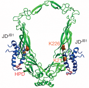 Model of part of a complex between two types of J-protein (Picture: HITS)