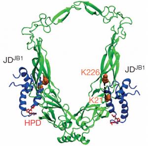 Modell eines Teilkomplex von zwei Typen von J-Proteinen (Bild: HITS)