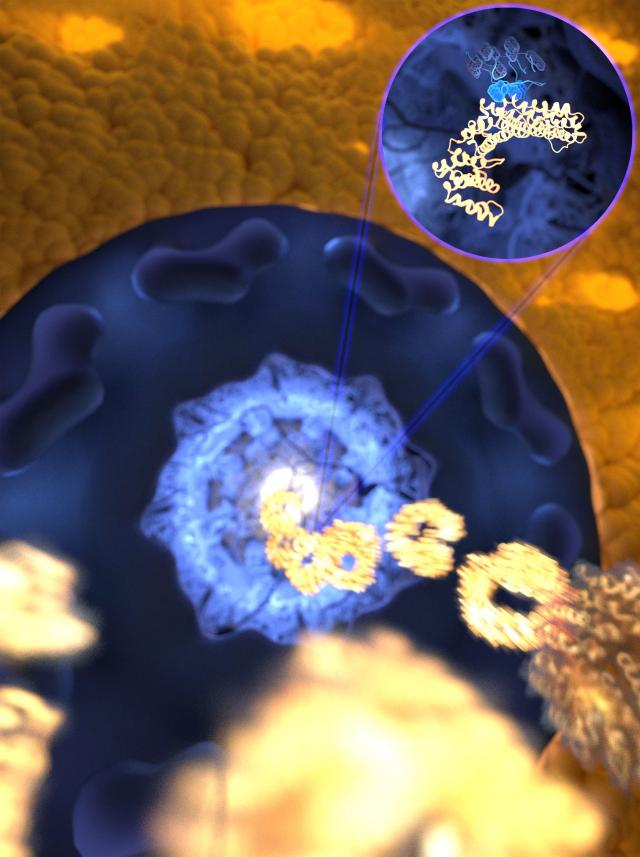 Durch die ultraschnelle, aber zugleich gezielte Bindung rast der Rezeptor (goldfarben) durch die mit ungeordneten Proteinen gefüllte Pore in den Zellkern, während unerwünschte Moleküle ferngehalten werden. (Bild: Mercadante /HITS) The ultrafast and yet selective binding allows the receptor (gold) to rapidly travel through the pore filled with disordered proteins (blue) into the nucleus, while any unwanted molecules are kept outside. (Image: Mercadante /HITS)
